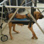 Poliradicoloneurite Acuta Idiopatica Canina